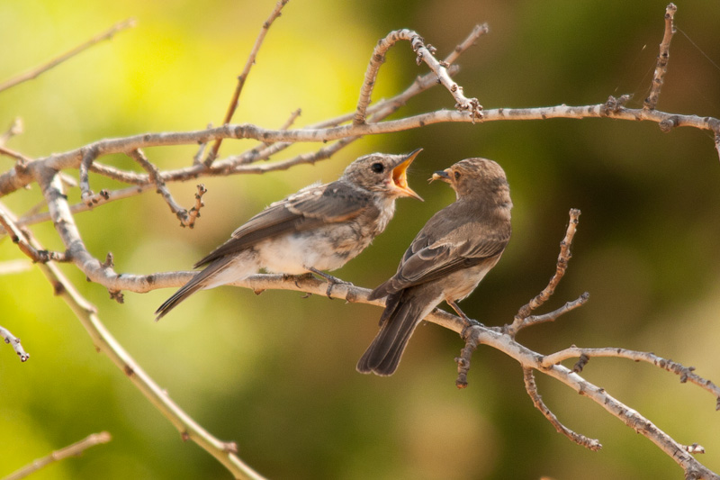 Spotted Flycatcher Feeding Young
