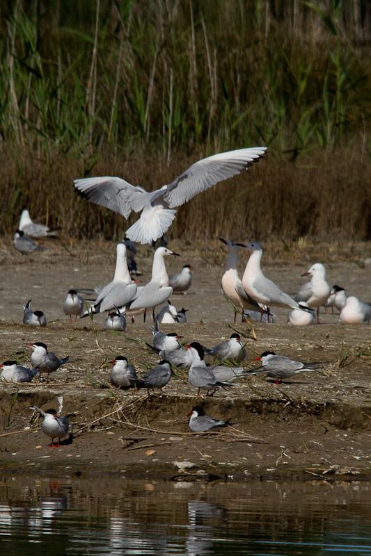 Common terns & Slender billed Gulls