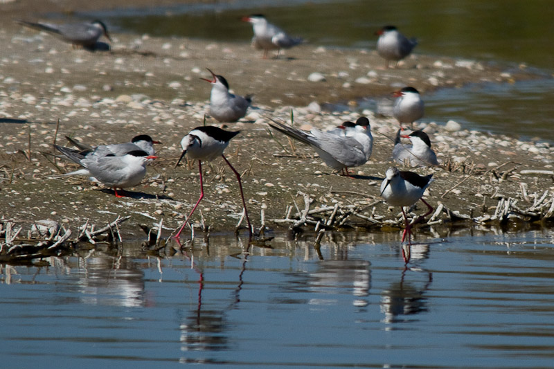 Black Winged Stilts in Common Tern Colony