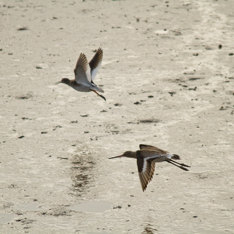 Redshank and Black Tailed Godwit