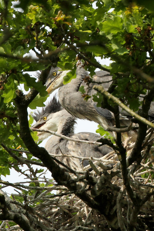 Young Herons