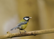 Great Tit. (Parus major)
