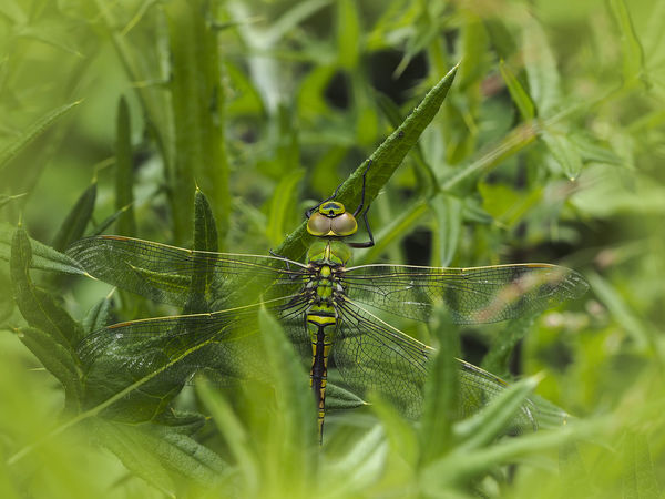 Emporor Dragonfly