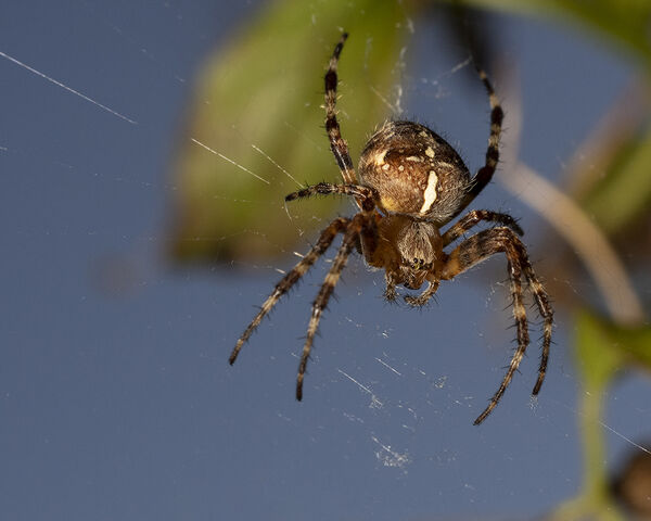 Orb web/Cross spider