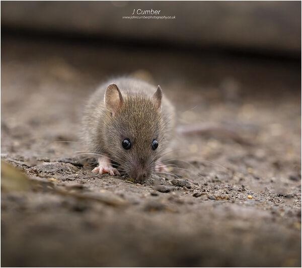 A young Rat