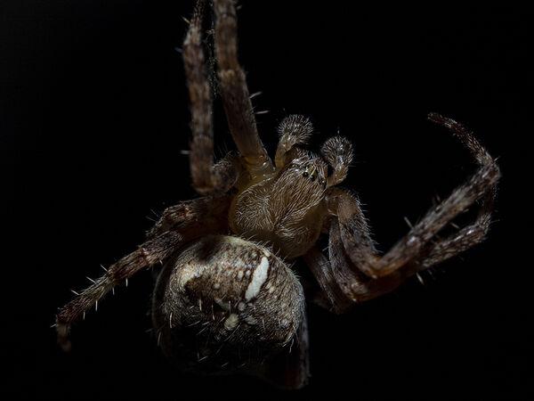Orb web/Cross spider (male)