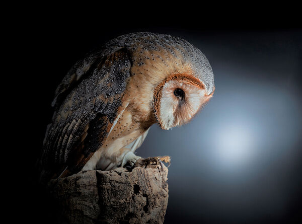 African Barn Owl