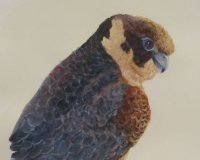 Little Falcon - Feathery Faces Series