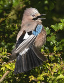 Jay trying to keep cool,panting and spreading wings