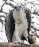 Easton Osprey