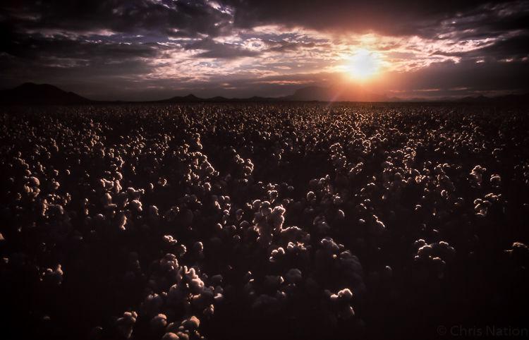 Cotton field. Texas. U.S.A. NR30