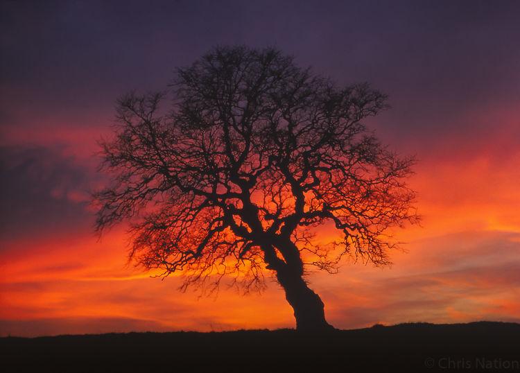 Oak tree. Yorkshire Moors. ENG. NR20