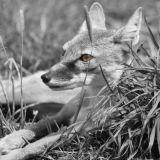 Cunning Old Fox