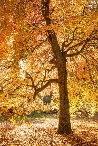 Autumn tree Sheffield Park East Sussex