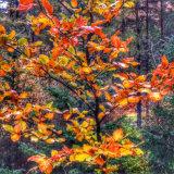Glen Coe golden tree