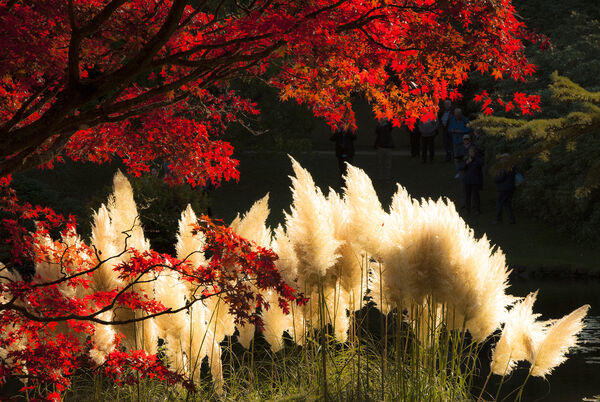 acer and pampus grass Sheffield Park East Sussex