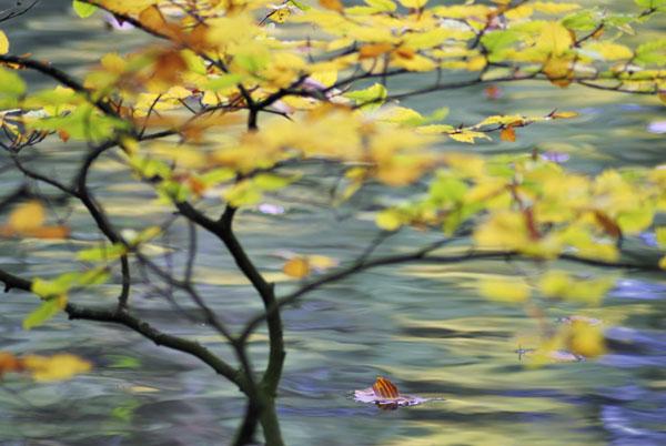 Floating Beech Leaf