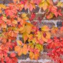 Autumnal Ivy