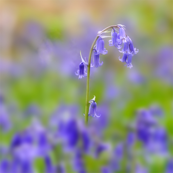 Bluebells (2)