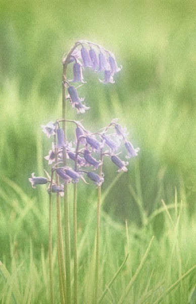 Bluebell Impression