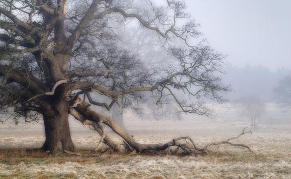 Fallen Oak Bough