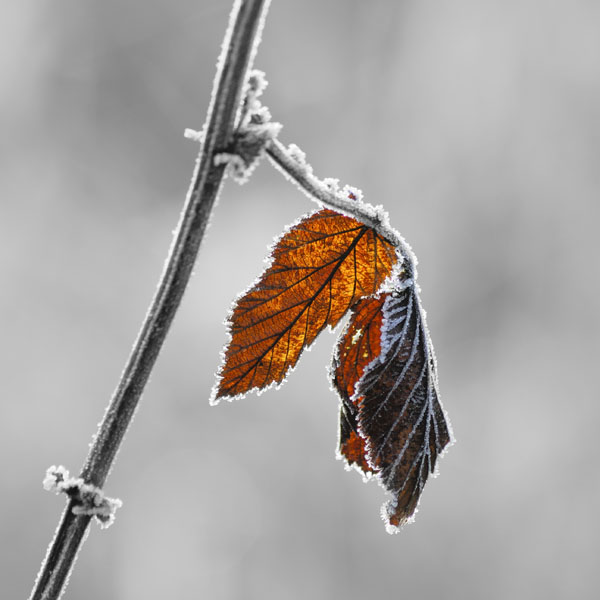 Frosted Leaf #2
