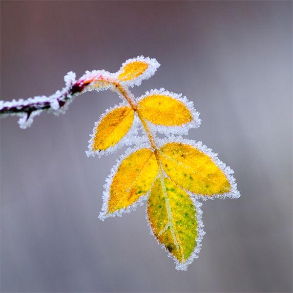 Frosted Rose Leaf