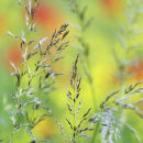 Grasses and Poppies