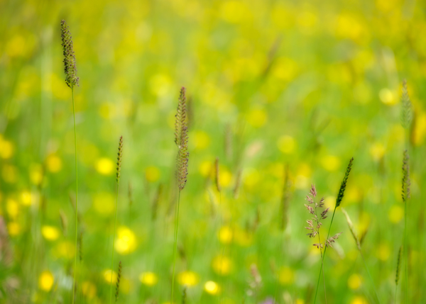 Grasses and Buttercups