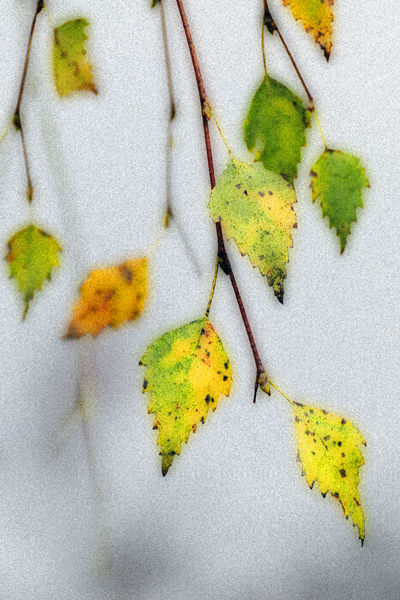 Autumnal Birch Leaves