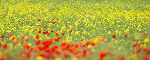 Poppies and Yellow Rapeseed