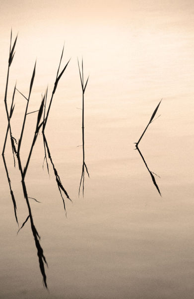 Reflected Grasses