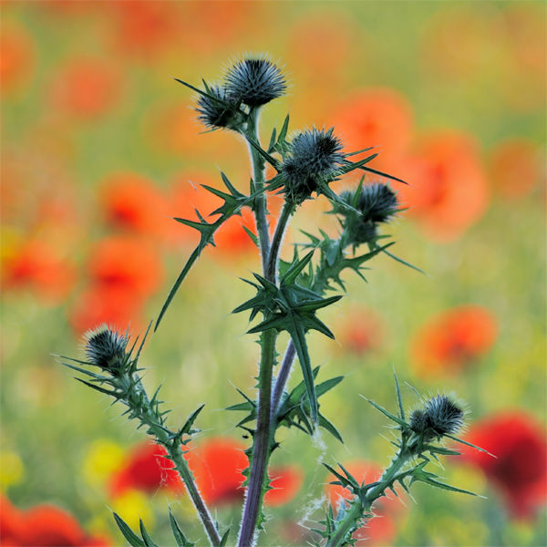 Thistle and Poppies