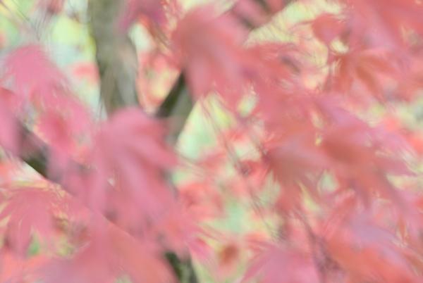 Windblown Maples