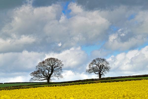 Solitary oaks