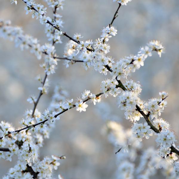 Hawthorn Blossom No2