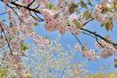 Cherry Blossom No3