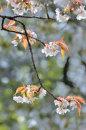 Cherry Blossom No2