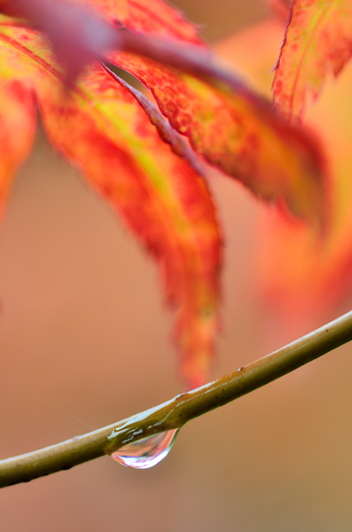 Acer leaf and raindrop