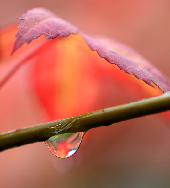 Acer leaf and raindrop #2