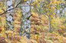 Silver birch cascade