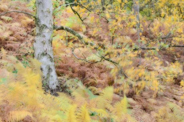 Silver birch and ferns