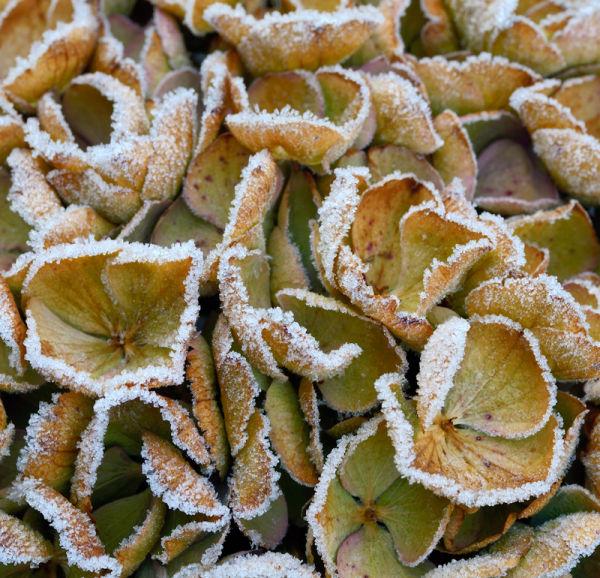 Frosted Hydrangea Bloom