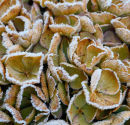 Frosted Hydrangea Bloom