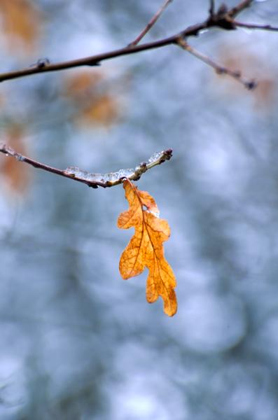 Oak Leaf No2