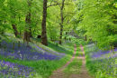 Bluebell Glade No2