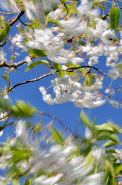Windblown Cherry Blossom