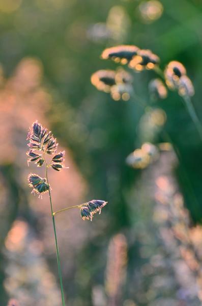 Backlit Grasses No2