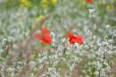 Poppies and Grasses