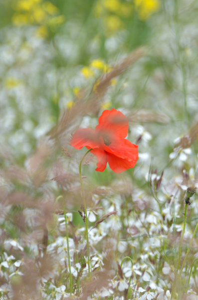 Poppy and Grasses